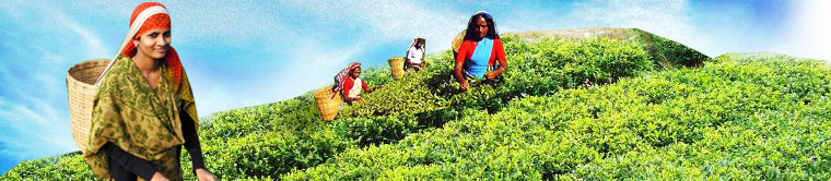 Banner - Uttarakhand Tea Development Board